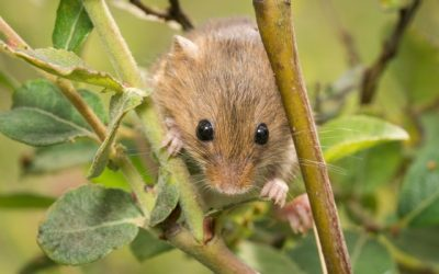 The Rather Remarkable Rat